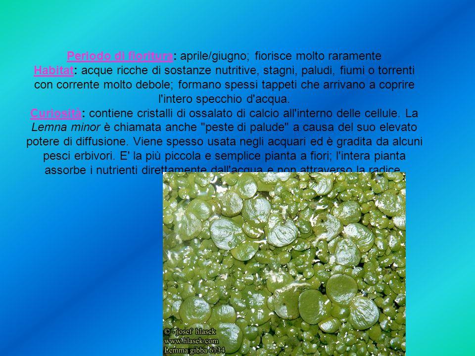 Periodo di fioritura: aprile/giugno; fiorisce molto raramente Habitat: acque ricche di sostanze nutritive, stagni, paludi, fiumi o torrenti con corrente molto debole; formano spessi tappeti che arrivano a coprire l intero specchio d acqua.