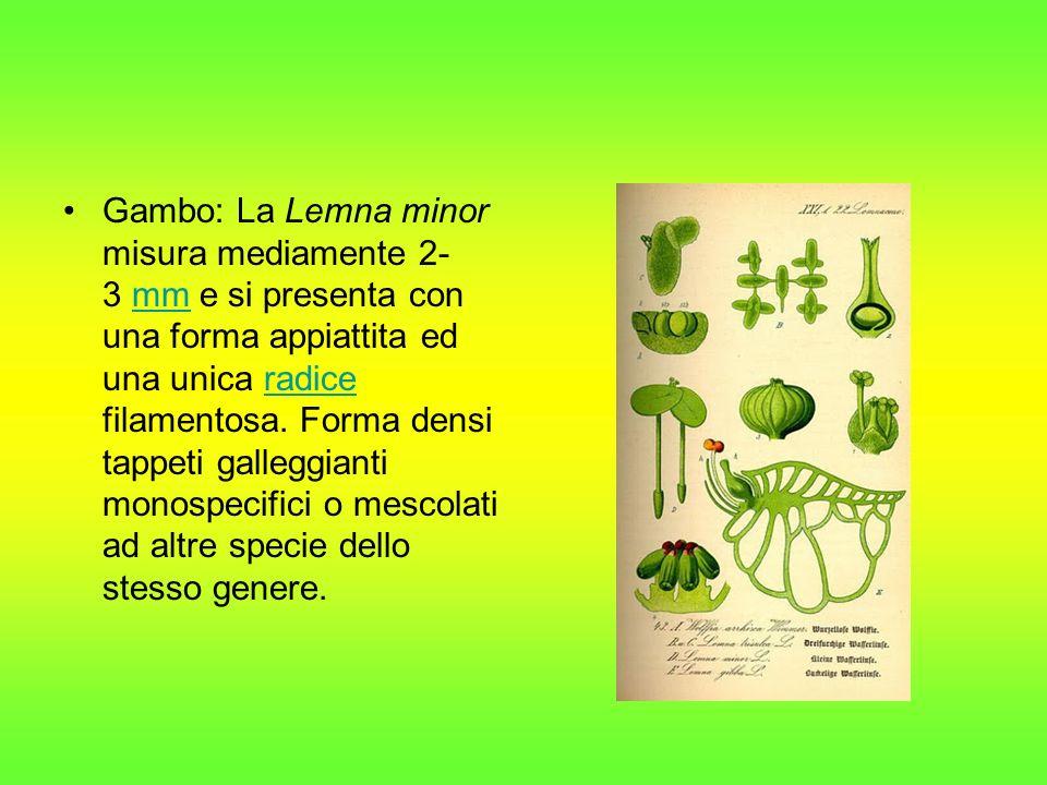 Gambo: La Lemna minor misura mediamente 2- 3 mm e si presenta con una forma appiattita ed una unica radice filamentosa. Forma densi tappeti galleggian