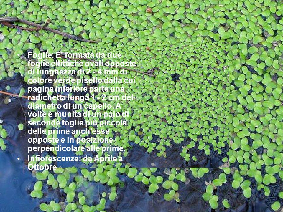 Foglie: E' formata da due foglie ellittiche ovali opposte di lunghezza di 2 - 4 mm di colore verde pisello dalla cui pagina inferiore parte una radich