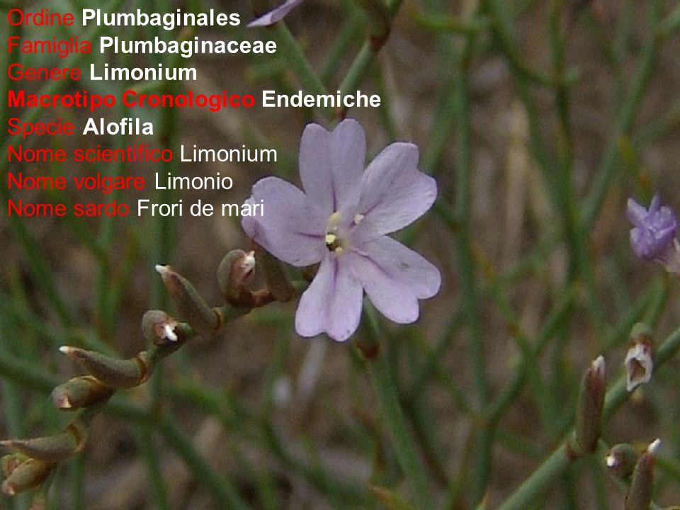 Ordine Plumbaginales Famiglia Plumbaginaceae Genere Limonium Macrotipo Cronologico Endemiche Specie Alofila Nome scientifico Limonium Nome volgare Lim