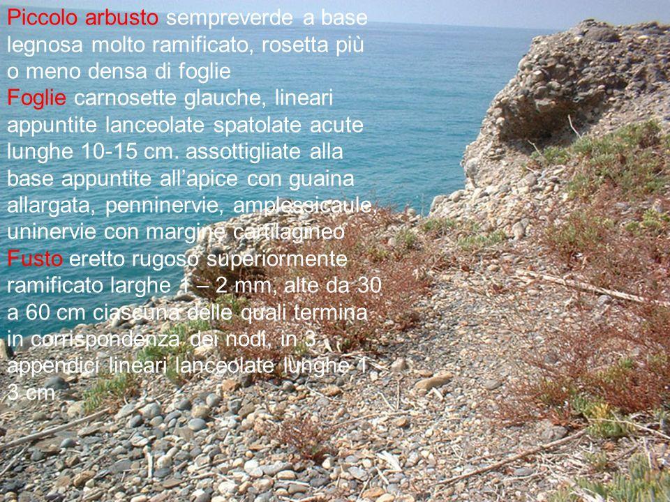 Infiorescenza con spighette bifore, numerosi fiori color violetto o rosa Fioritura da giugno a settembre Frutto achenio Habitat specie endemica presente nelle zone costiere, sabbiose e rocciose, nelle zone salmastre delle lagune della Sardegna.