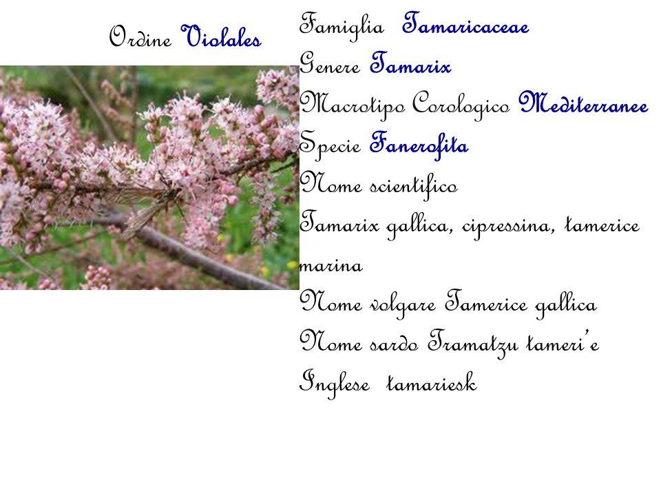 Ordine Violales Famiglia Tamaricaceae Genere Tamarix Macrotipo Corologico Mediterranee Specie Fanerofita Nome scientifico Tamarix gallica, cipressina,
