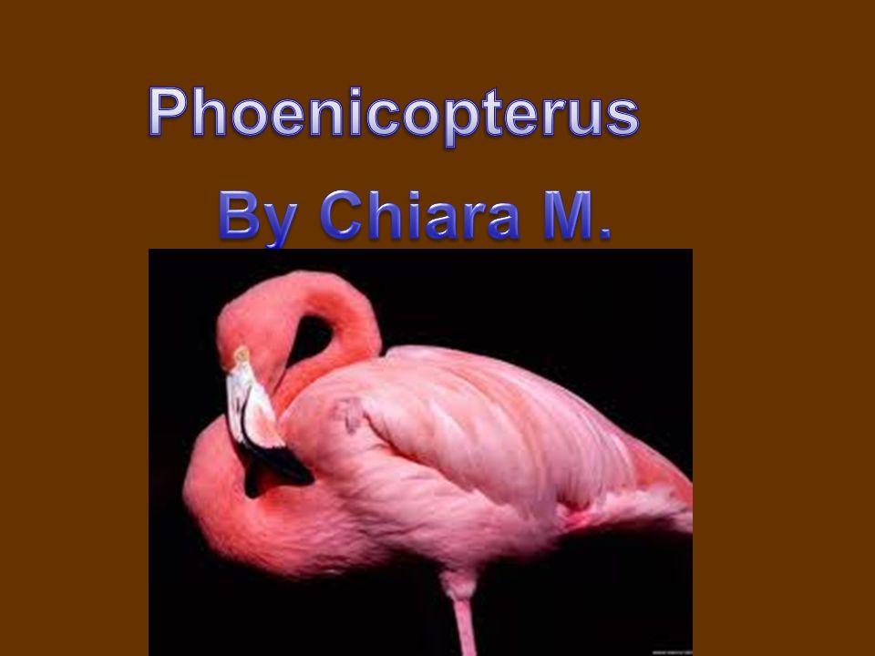 Nome scientifico:Phoenicopterus Nome sardo: Su Flammingu, mangoi o gent arrubia Nome inglese: greater flamingo Classe:Aves Ordine:Phoenicopteriformes Famiglia:Phoenicopteridae Genere:Phoenicopterus
