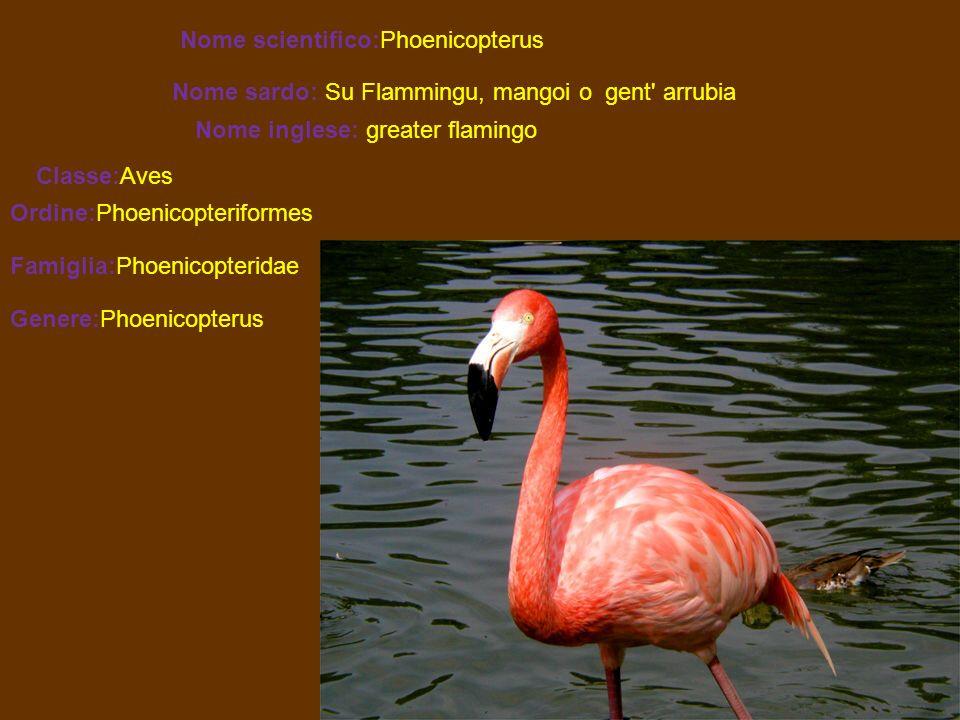 Nome scientifico:Phoenicopterus Nome sardo: Su Flammingu, mangoi o gent' arrubia Nome inglese: greater flamingo Classe:Aves Ordine:Phoenicopteriformes