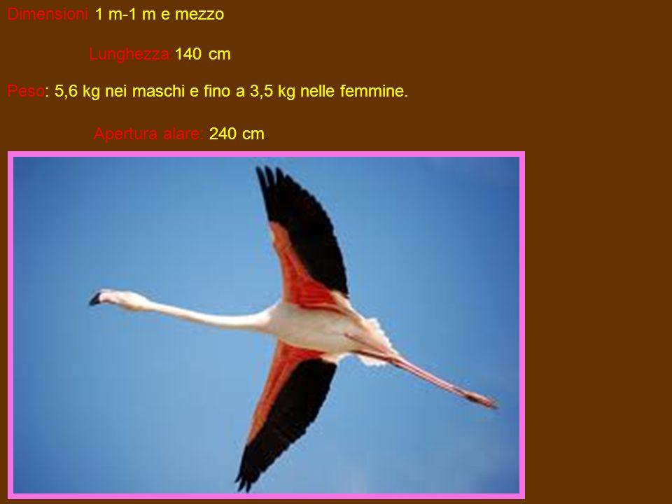 Dimensioni 1 m-1 m e mezzo Lunghezza:140 cm Peso: 5,6 kg nei maschi e fino a 3,5 kg nelle femmine. Apertura alare: 240 cm.