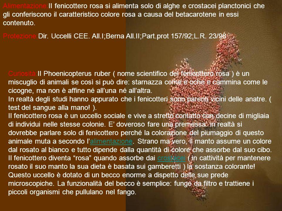 Alimentazione:Il fenicottero rosa si alimenta solo di alghe e crostacei planctonici che gli conferiscono il caratteristico colore rosa a causa del bet