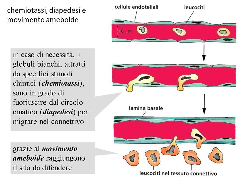 chemiotassi, diapedesi e movimento ameboide in caso di necessità, i globuli bianchi, attratti da specifici stimoli chimici (chemiotassi), sono in grad