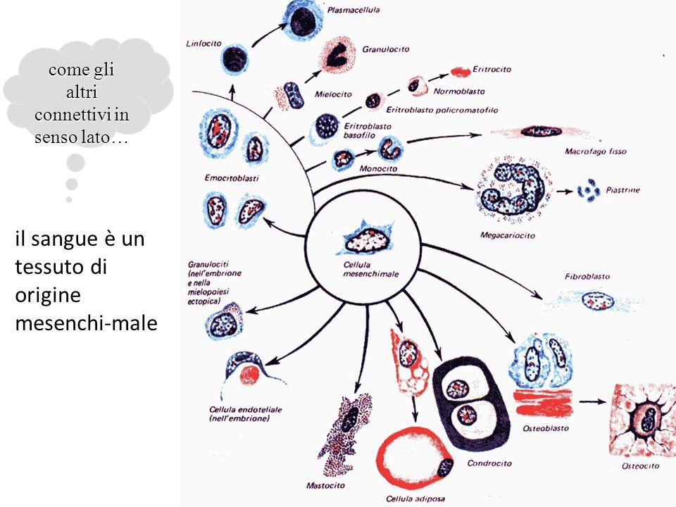 il sangue è un tessuto di origine mesenchi-male come gli altri connettivi in senso lato…