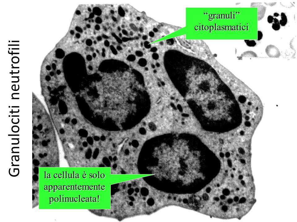 Granulociti neutrofili granuli citoplasmatici la cellula è solo apparentemente polinucleata!