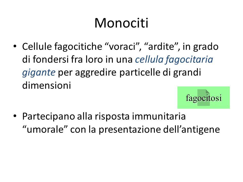 Monociti Cellule fagocitiche voraci, ardite, in grado di fondersi fra loro in una cellula fagocitaria gigante per aggredire particelle di grandi dimen