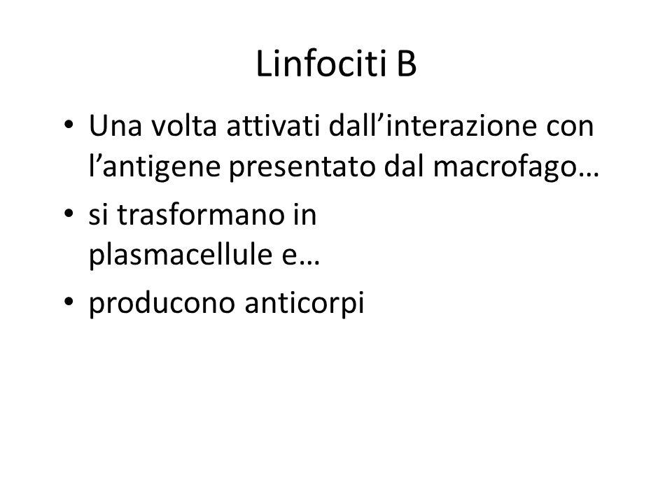 Linfociti B Una volta attivati dallinterazione con lantigene presentato dal macrofago… si trasformano in plasmacellule e… producono anticorpi