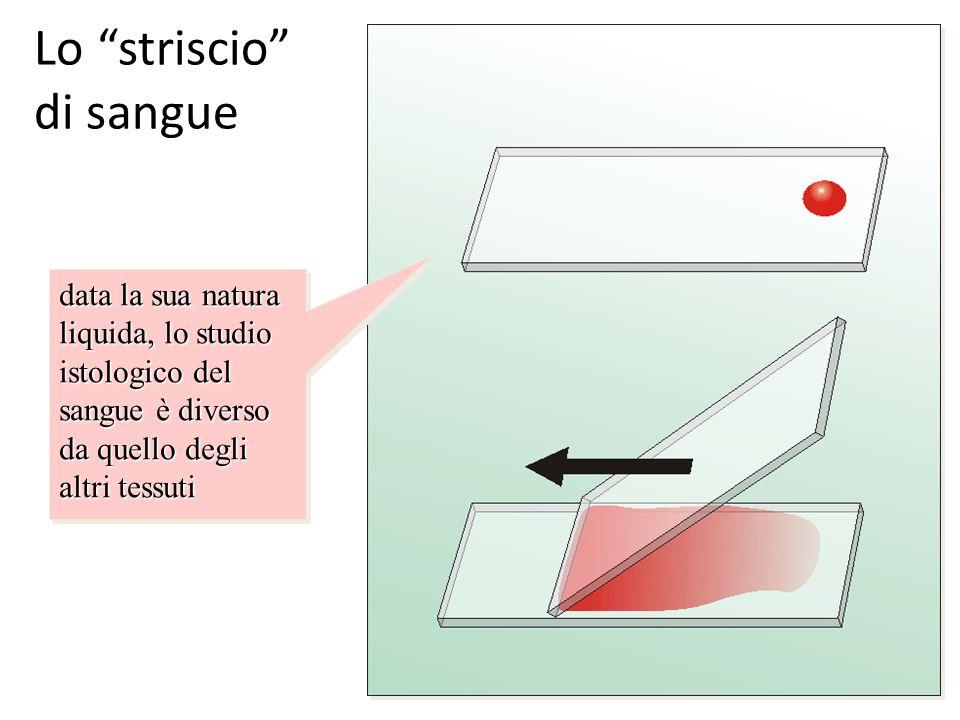 Lo striscio di sangue data la sua natura liquida, lo studio istologico del sangue è diverso da quello degli altri tessuti