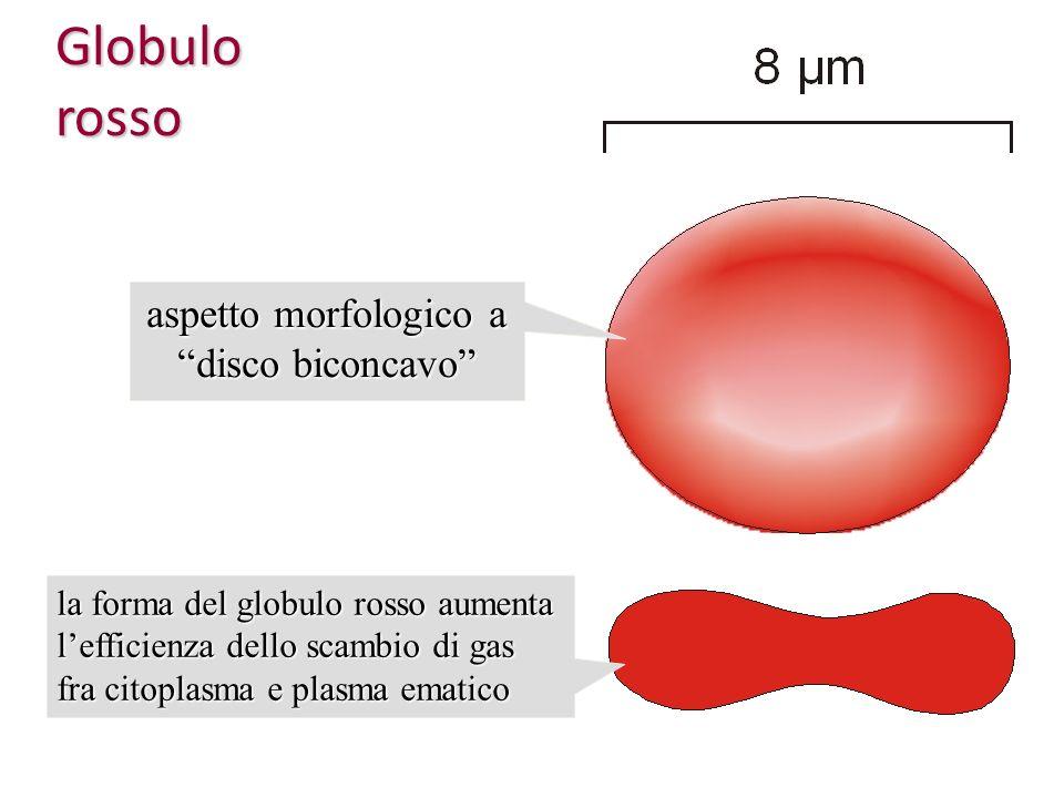 Globulo rosso aspetto morfologico a disco biconcavo la forma del globulo rosso aumenta lefficienza dello scambio di gas fra citoplasma e plasma ematic