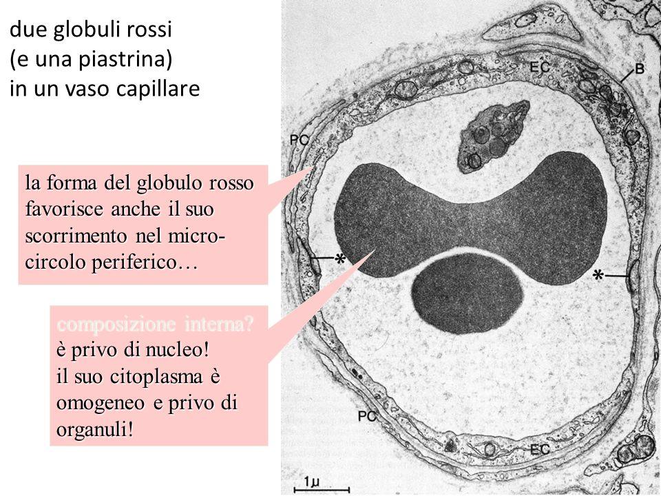due globuli rossi (e una piastrina) in un vaso capillare la forma del globulo rosso favorisce anche il suo scorrimento nel micro- circolo periferico…