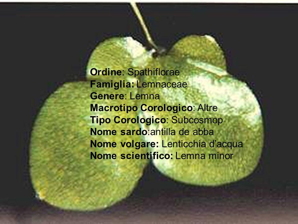 Ordine: Spathiflorae Famiglia: Lemnaceae Genere: Lemna Macrotipo Corologico: Altre Tipo Corologico: Subcosmop Nome sardo:antilla de abba Nome volgare: