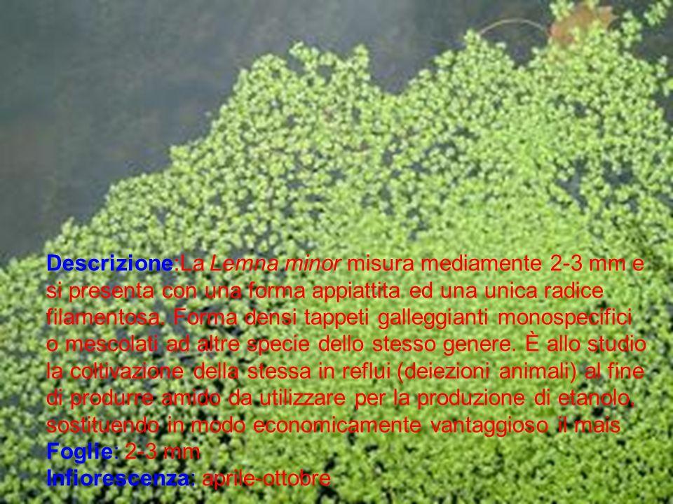 Descrizione:La Lemna minor misura mediamente 2-3 mm e si presenta con una forma appiattita ed una unica radice filamentosa. Forma densi tappeti galleg