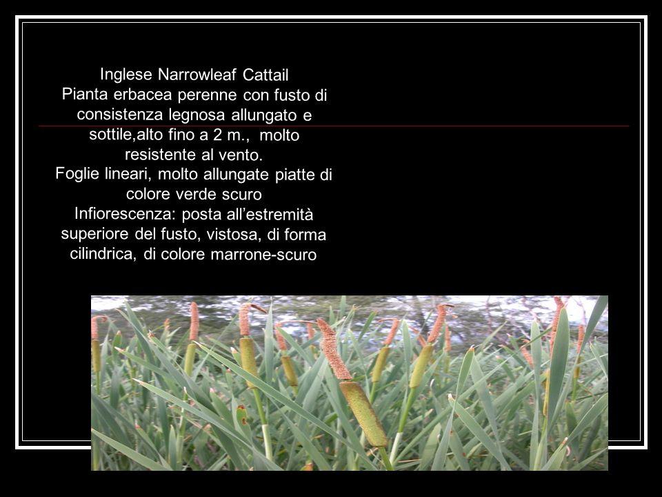 Inglese Narrowleaf Cattail Pianta erbacea perenne con fusto di consistenza legnosa allungato e sottile,alto fino a 2 m., molto resistente al vento.