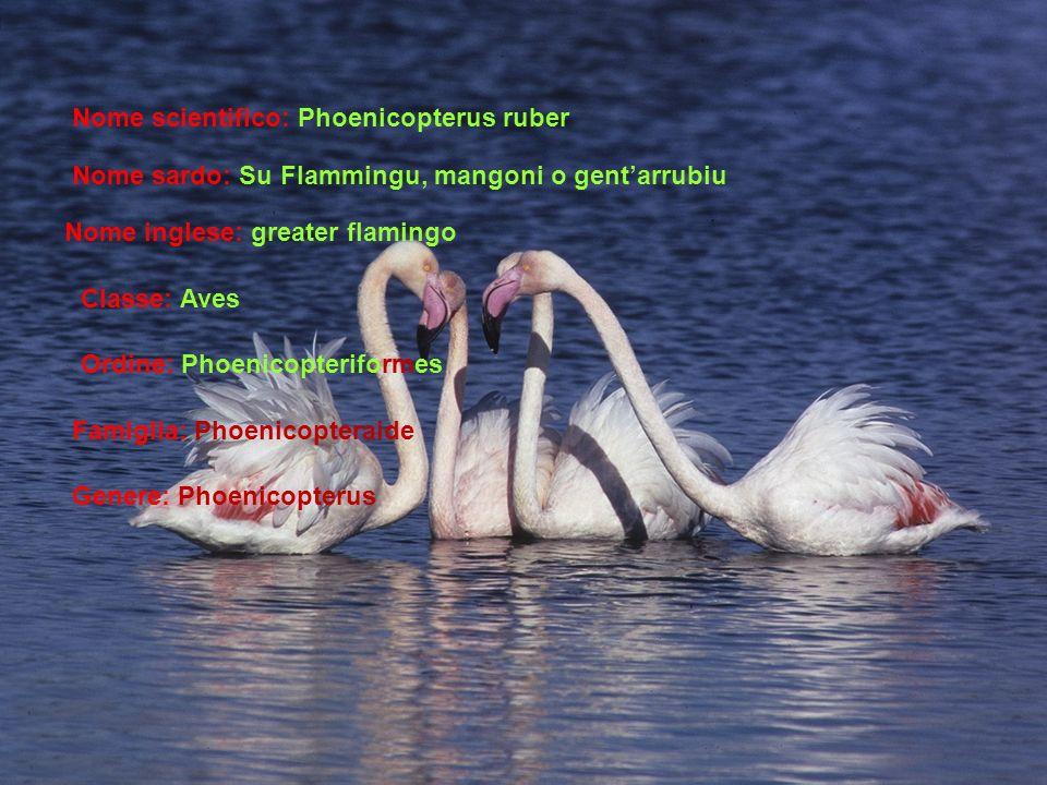 Nome scientifico: Phoenicopterus ruber Nome sardo: Su Flammingu, mangoni o gentarrubiu Nome inglese: greater flamingo Classe: Aves Ordine: Phoenicopteriformes Famiglia: Phoenicopteraide Genere: Phoenicopterus