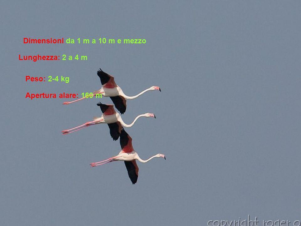 Dimensioni da 1 m a 10 m e mezzo Lunghezza: 2 a 4 m Peso: 2-4 kg Apertura alare: 160 m