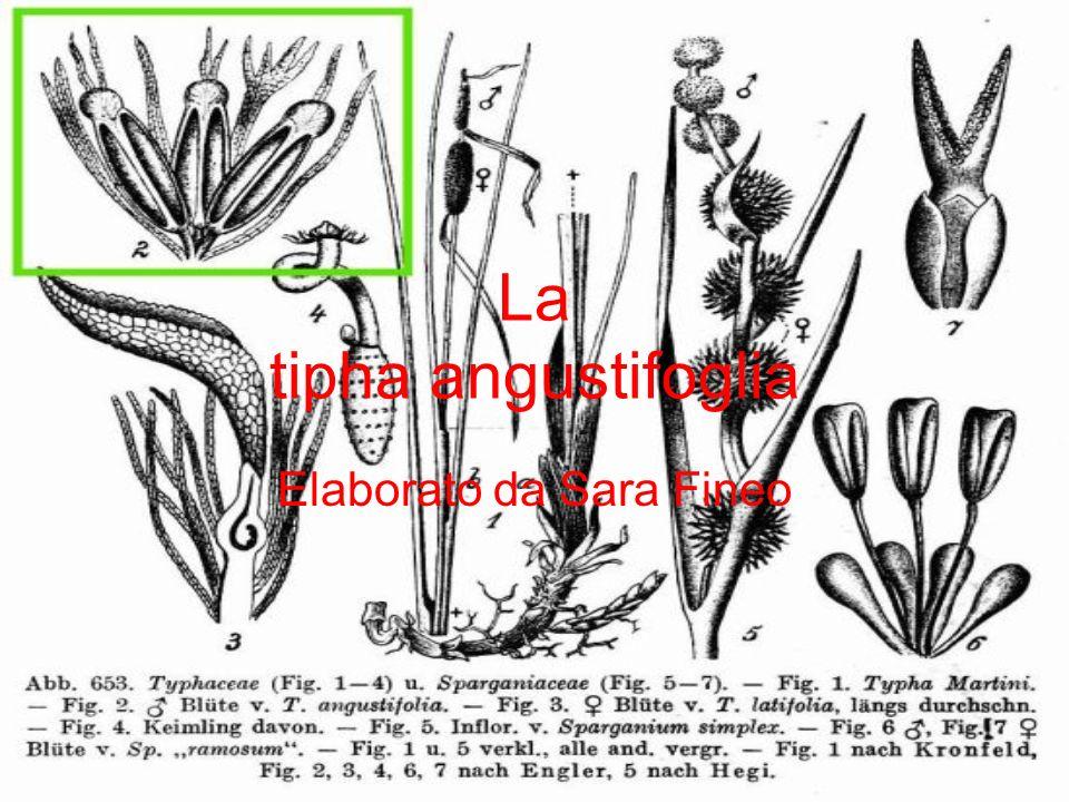 La tipha angustifoglia Elaborato da Sara Fineo