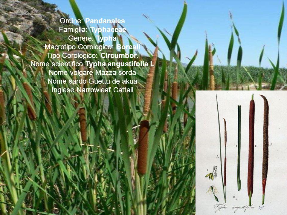 Ordine: Pandanales Famiglia: Typhaceae Genere: Typha Macrotipo Corologico: Boreali Tipo Corologico: Circumbor. Nome scientifico Typha angustifolia L N