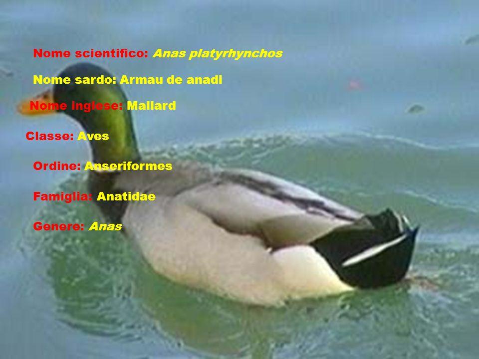 Nome scientifico: Anas platyrhynchos Nome sardo: Armau de anadi Nome inglese: Mallard Classe: Aves Ordine: Anseriformes Famiglia: Anatidae Genere: Anas