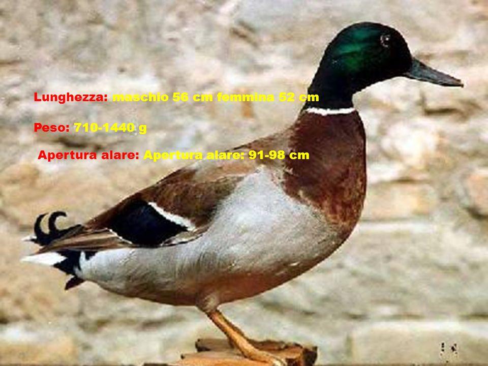 Lunghezza: maschio 56 cm femmina 52 cm Peso: 710-1440 g Apertura alare: Apertura alare: 91-98 cm