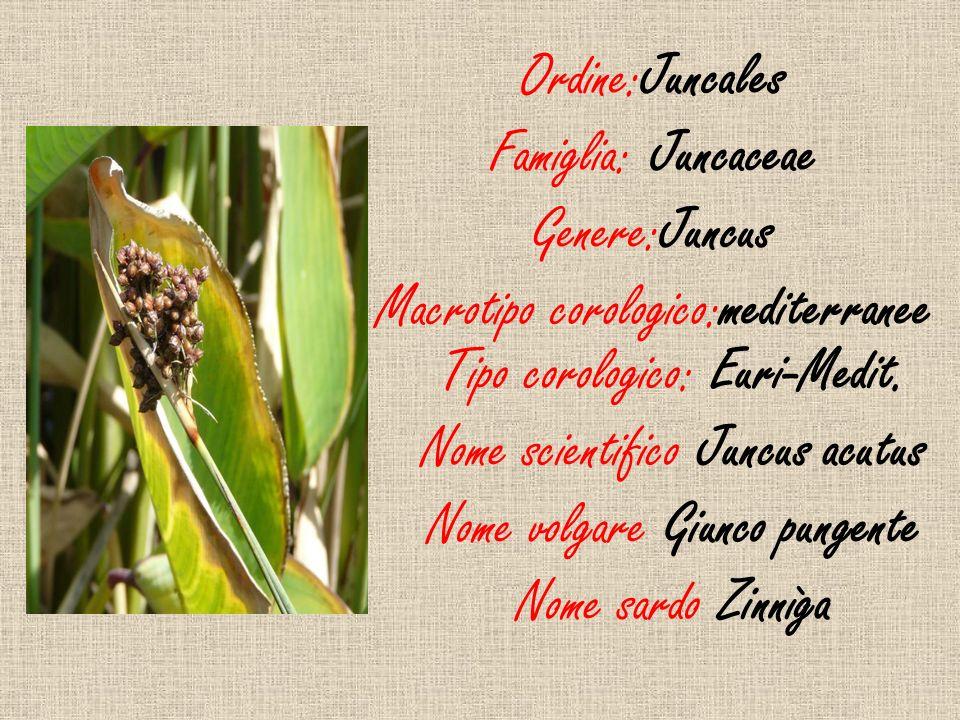 Ordine:Juncales Famiglia: Juncaceae Genere:Juncus Macrotipo corologico:mediterranee Tipo corologico: Euri-Medit. Nome scientifico Juncus acutus Nome v
