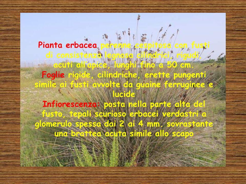 Pianta erbacea perenne cespitosa con fusti di consistenza legnosa cilindrici, rigudi, acuti allapice, lunghi fino a 50 cm. Foglie rigide, cilindriche,