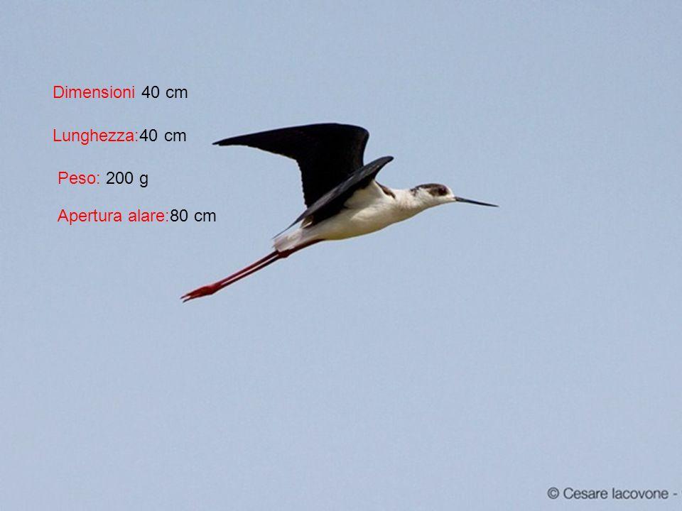Nome scientifico:Himantopus himantopus Nome sardo : Tzurrullinu, tzurrulliu Nome inglese: Black-winged Stilt Classe:Aves Ordine:Charadriiformes Famiglia:Recurvirostridae Genere:Himantopus
