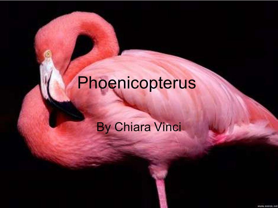 Nome scientifico: Nome sardo: Nome inglese: Classe: Aves Ordine: Famiglia: Genere: Phoenicopterus Phoenicopteridae Phoenicopteriformes Phoenicopterus Su Flammingu Su mangoi o gent arrubia Greater flamingo