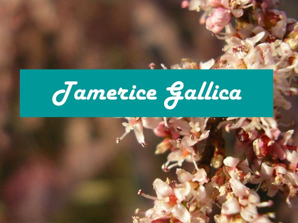 Ordine Violales Famiglia Tamaricaceae Genere Tamarix Macrotipo Corologico Mediterranee Specie Fanerofita Nome scientifico Tamarix gallica, cipressina, tamerice marina Nome volgare Tamerice gallica Nome sardo Tramatzu tamerie Inglese tamariesk