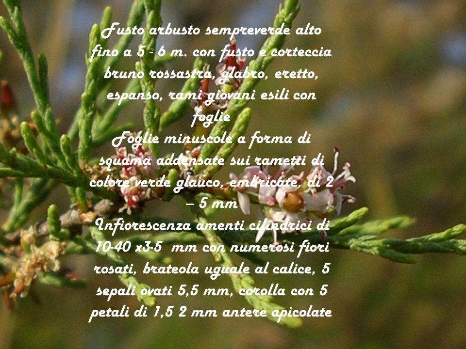 Fioritura aprile – giugno, e nel periodo autunnale Frutto capsula trigone liscia Semi numerosi con in ciuffo di peli allapice