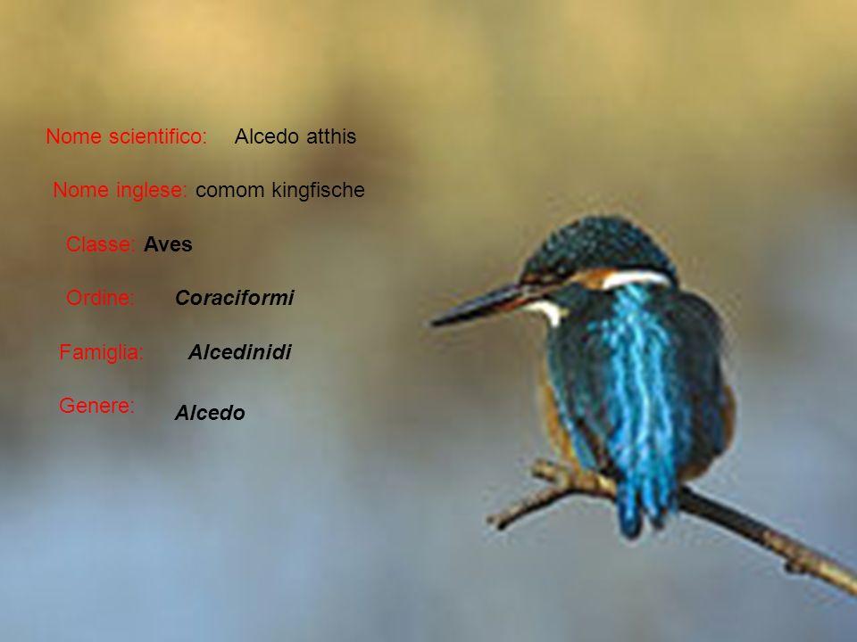 Nome scientifico: Nome inglese: comom kingfische Classe: Aves Ordine: Famiglia: Genere: Coraciformi Alcedinidi Alcedo Alcedo atthis