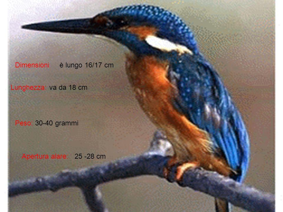 Dimensioni Lunghezza: va da 18 cm Peso: 30-40 grammi Apertura alare: 25 -28 cm è lungo 16/17 cm