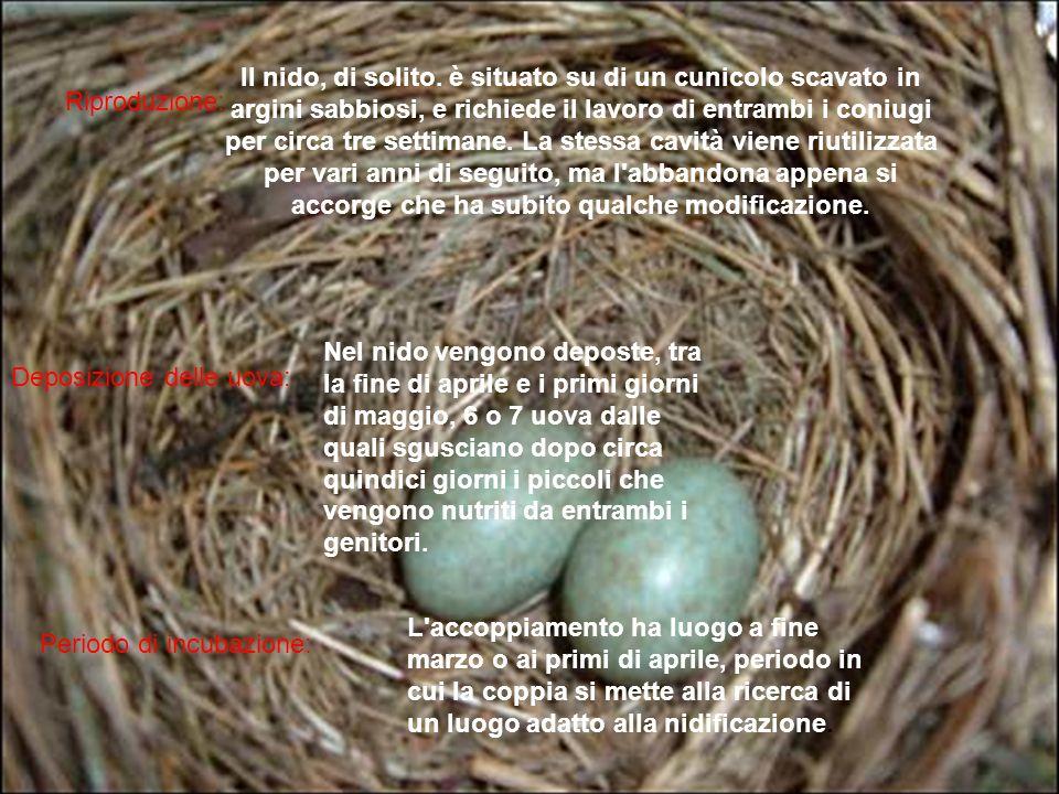 Riproduzione: Deposizione delle uova: Periodo di incubazione: Il nido, di solito. è situato su di un cunicolo scavato in argini sabbiosi, e richiede i
