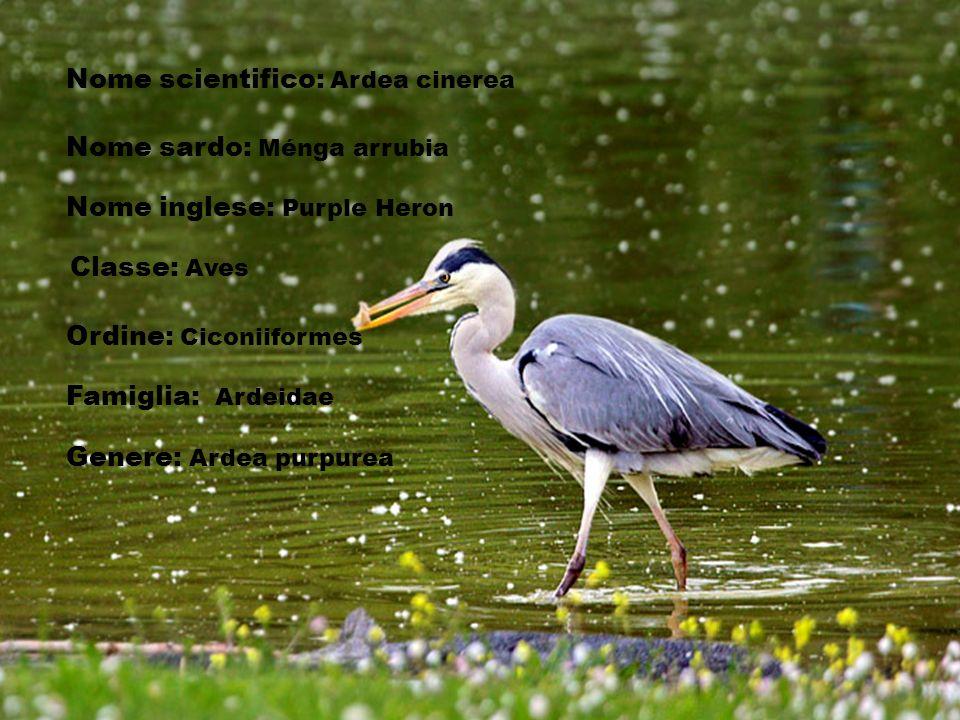 Nome scientifico: Ardea cinerea Nome sardo: Ménga arrubia Nome inglese: Purple Heron Classe: Aves Ordine: Ciconiiformes Famiglia: Ardeidae Genere: Ard
