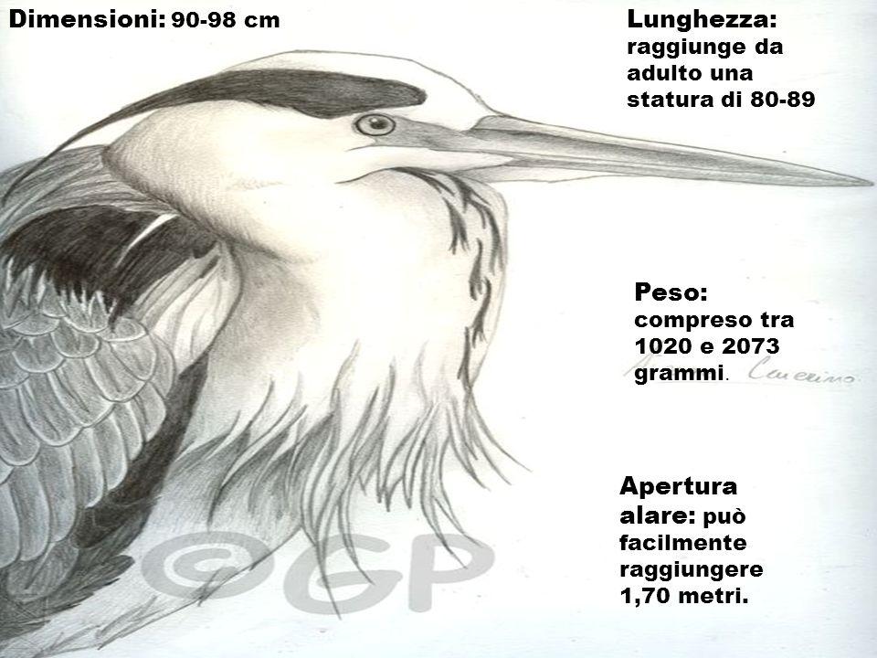 Dimensioni: 90-98 cm Lunghezza: raggiunge da adulto una statura di 80-89 Peso: compreso tra 1020 e 2073 grammi. Apertura alare: può facilmente raggiun