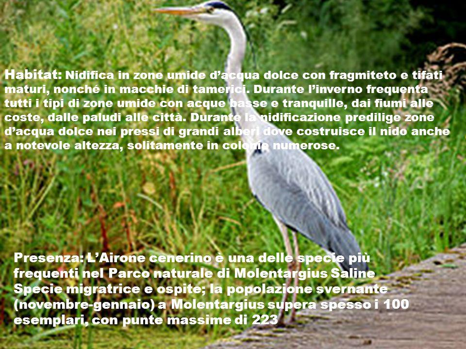 Habitat: Nidifica in zone umide dacqua dolce con fragmiteto e tifati maturi, nonché in macchie di tamerici. Durante linverno frequenta tutti i tipi di
