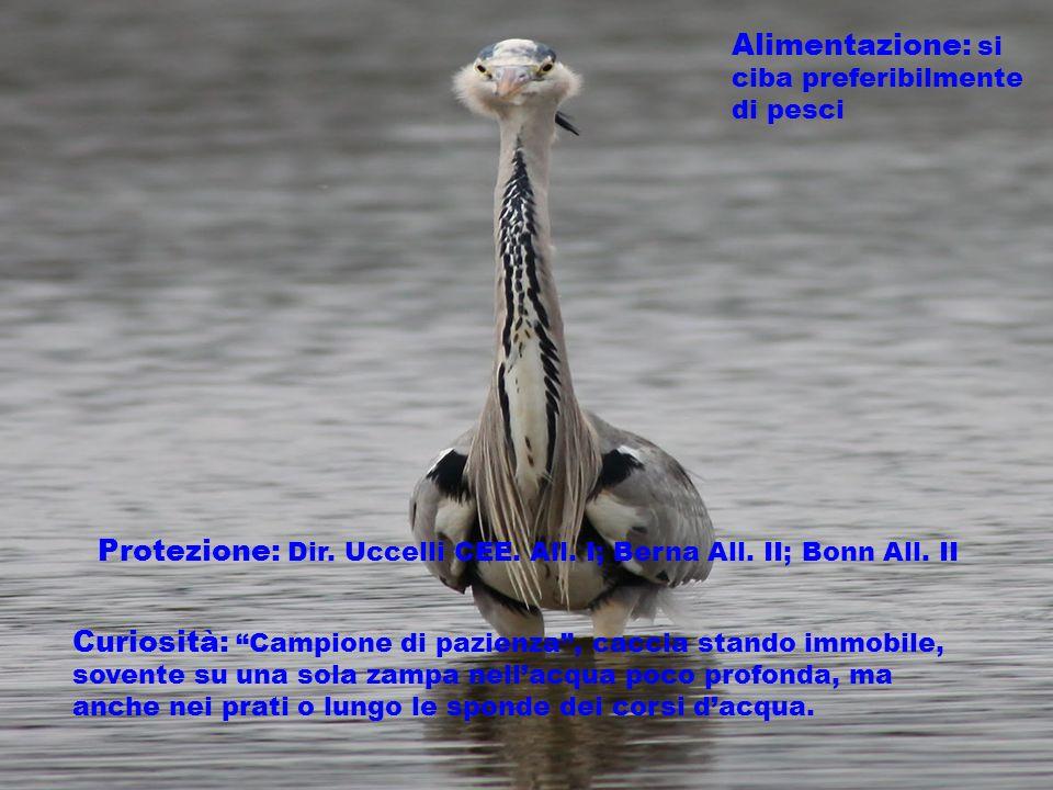 Alimentazione: si ciba preferibilmente di pesci Protezione: Dir. Uccelli CEE. All. I; Berna All. II; Bonn All. II Curiosità: Campione di pazienza, cac