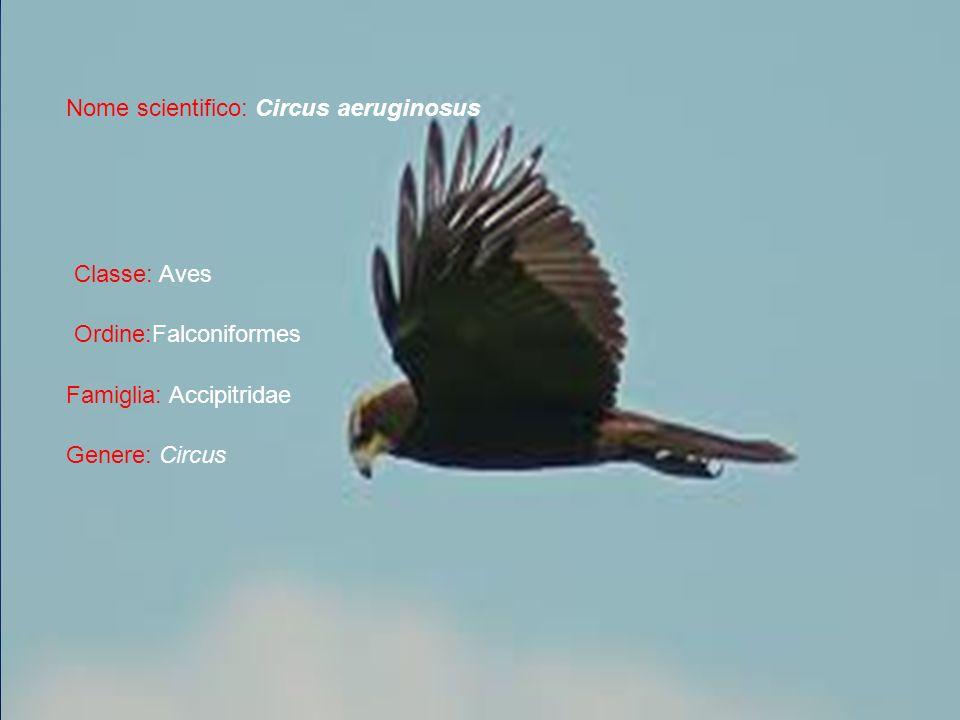 Nome scientifico: Circus aeruginosus Classe: Aves Ordine:Falconiformes Famiglia: Accipitridae Genere: Circus