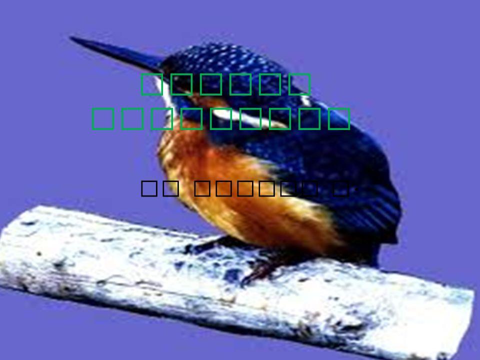 Nome sardo: Pillo - edd e Santu predu Classe: Aves Ordine: Coraciiform i Famiglia: Alcedinidi Genere: Alcedo Nome scientifico: Alcedo Atthis