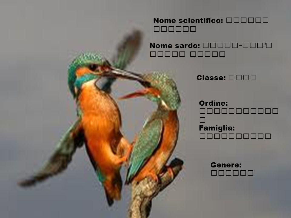Nome sardo: Pillo - edd ' e Santu predu Classe: Aves Ordine: Coraciiform i Famiglia: Alcedinidi Genere: Alcedo Nome scientifico: Alcedo Atthis