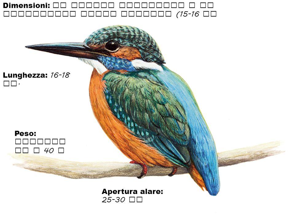 Dimensioni: il martin pescatore e di dimensioni molto piccole (15-16 cm Lunghezza: 16-18 cm. Peso: raggiun ge i 40 g Apertura alare: 25-30 cm