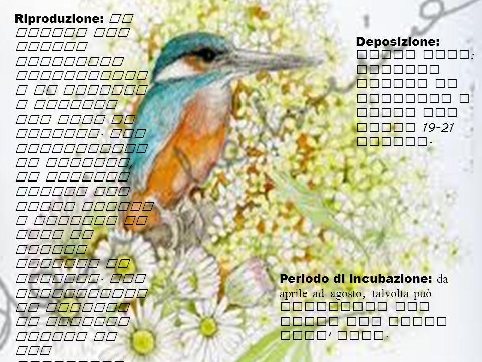 Deposizione: delle uova : vengono covate da entrambi i sessi per circa 19-21 giorni. Periodo di incubazione: da aprile ad agosto, talvolta può ripeter
