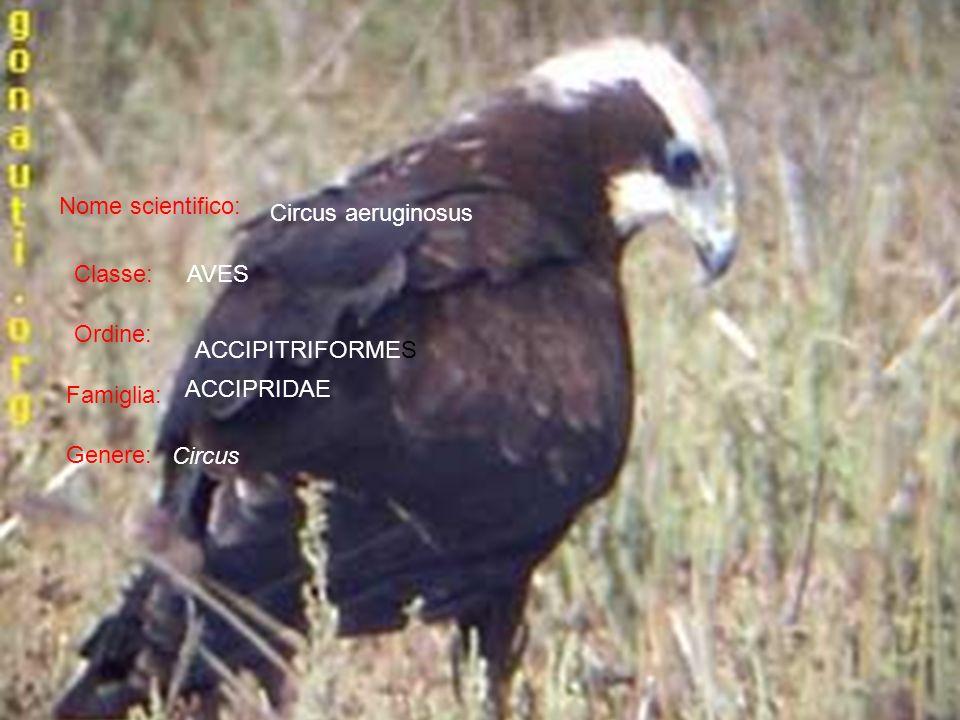 Nome scientifico: Classe: Ordine: Famiglia: Genere: Circus aeruginosus Circus ACCIPRIDAE AVES ACCIPITRIFORMES
