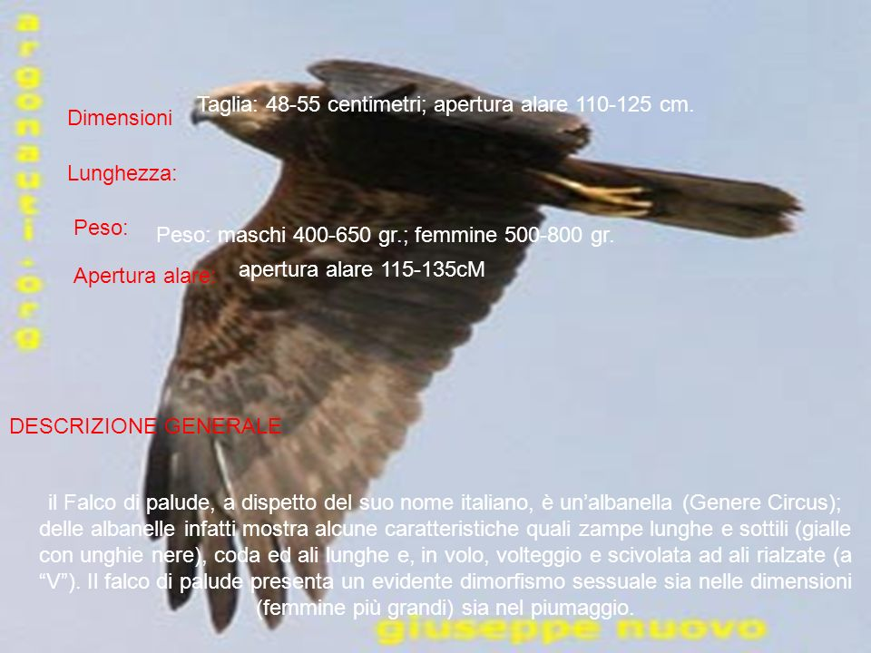 Dimensioni Lunghezza: Peso: Apertura alare: apertura alare 115-135cM DESCRIZIONE GENERALE il Falco di palude, a dispetto del suo nome italiano, è unal