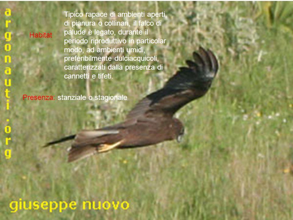 Habitat Presenza: stanziale o stagionale Tipico rapace di ambienti aperti, di pianura o collinari, il falco di palude è legato, durante il periodo rip