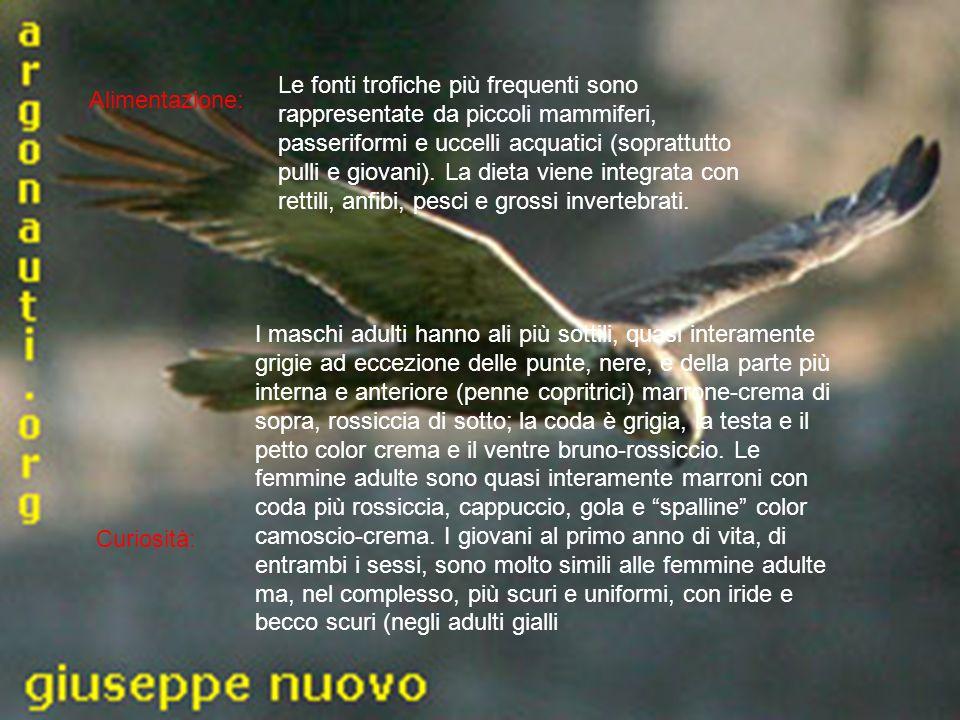 Alimentazione: Curiosità: Le fonti trofiche più frequenti sono rappresentate da piccoli mammiferi, passeriformi e uccelli acquatici (soprattutto pulli