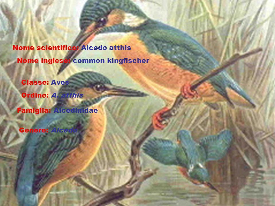 Nome scientifico: Alcedo atthis Nome inglese: common kingfischer Classe: Aves Ordine: A. atthis Famiglia: Alcedinidae Genere: Alcedo